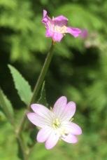 Broad-leaved Willowherb