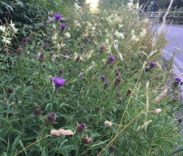 Black knapweed and meadowsweet