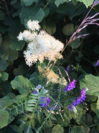 Tufted vetch and meadowsweet