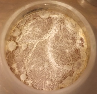 Pellicle on elderflower 2