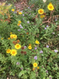 Fleabane and watermint