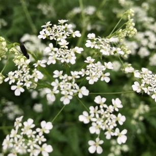 Scow Parsley